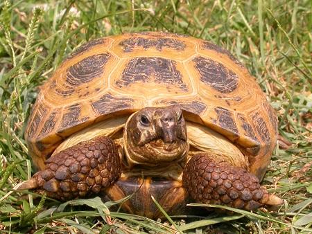 Il letargo delle tartarughe for Letargo tartarughe acqua