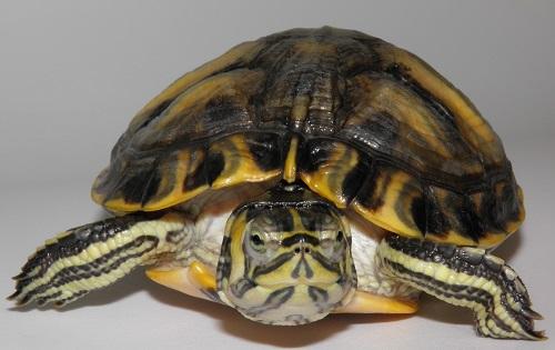 Trachemys scripta tartaruga palustre americana