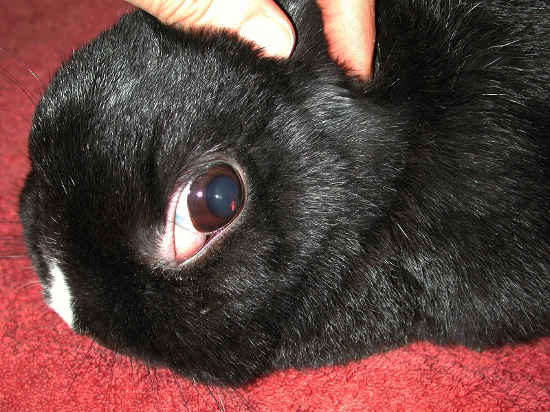 Timoma linfoma timico coniglio