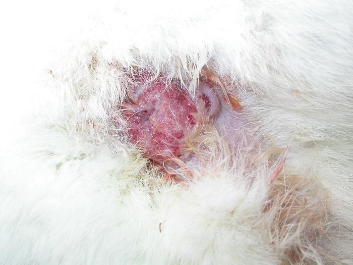 tumore mammario coniglia