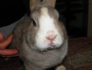 pasteurellosi coniglio