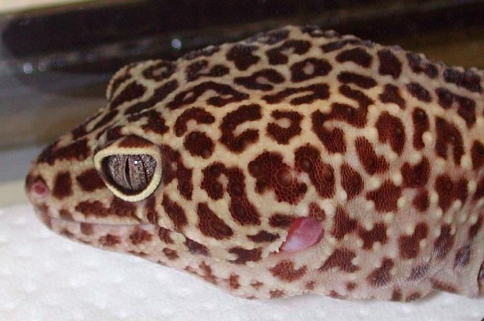geco leopardo Eublepharis macularius