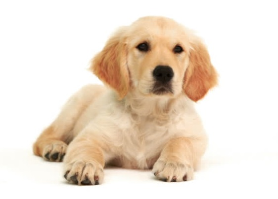 vaginite del cucciolo