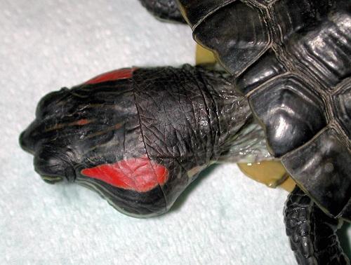 ascessi auricolari tartarughe