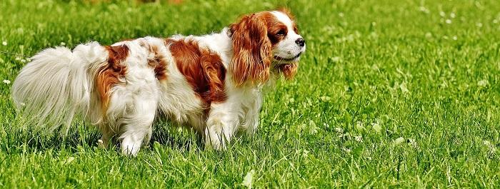 endocardiosi mitralica cane