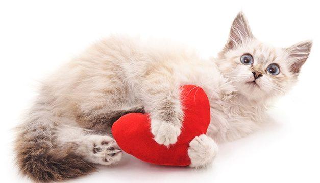 miocardiopatia ipertrofica gatto