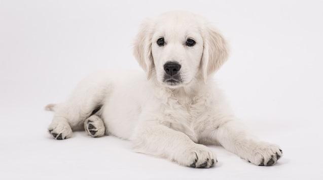 stenosi subaortica cane