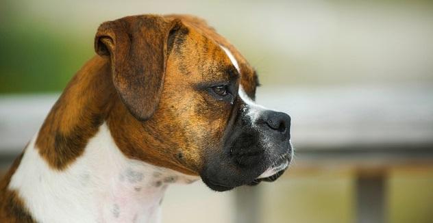 miocardopatia dilatativa cane