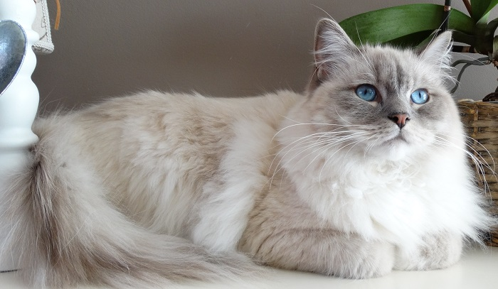 granuloma eosinofilico gatto
