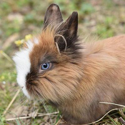 I conigli da compagnia sono quelli di razza nana