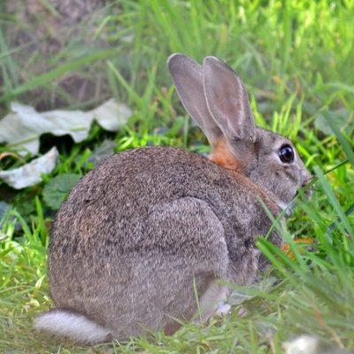 I conigli da compagnia sono una specie diversa da quelli selvatici