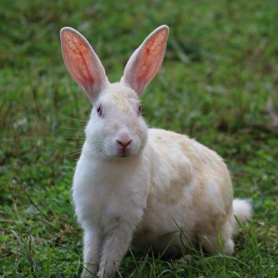 I conigli da compagnia derivano da quelli di laboratorio