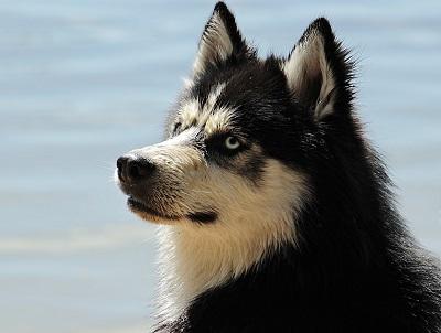 quiz razze canine
