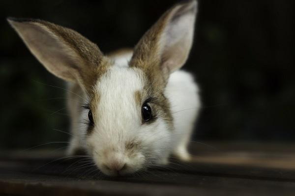 quiz coniglio 19