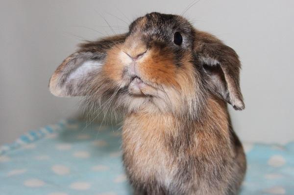 quiz conigli