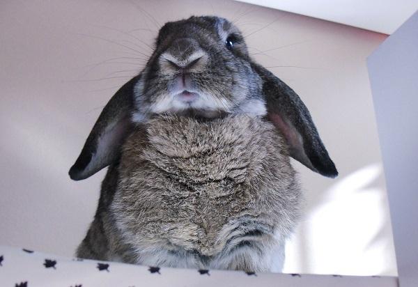 quiz coniglio
