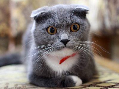 quiz razze feline