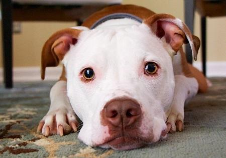 tumori testicolari cane