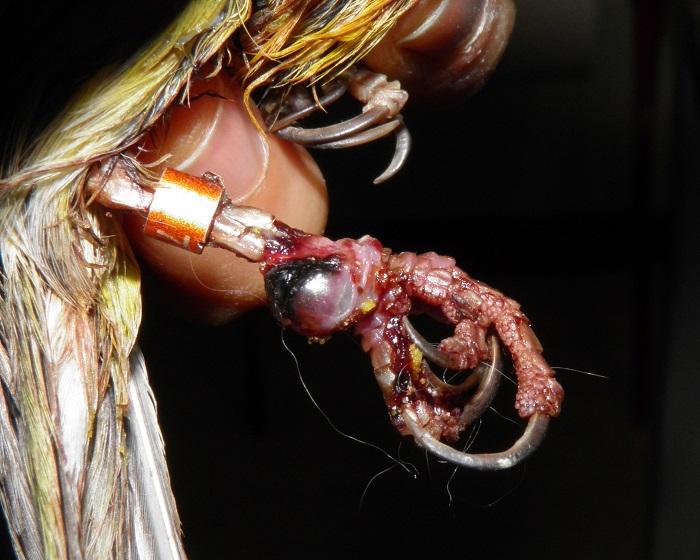 malattie canarini