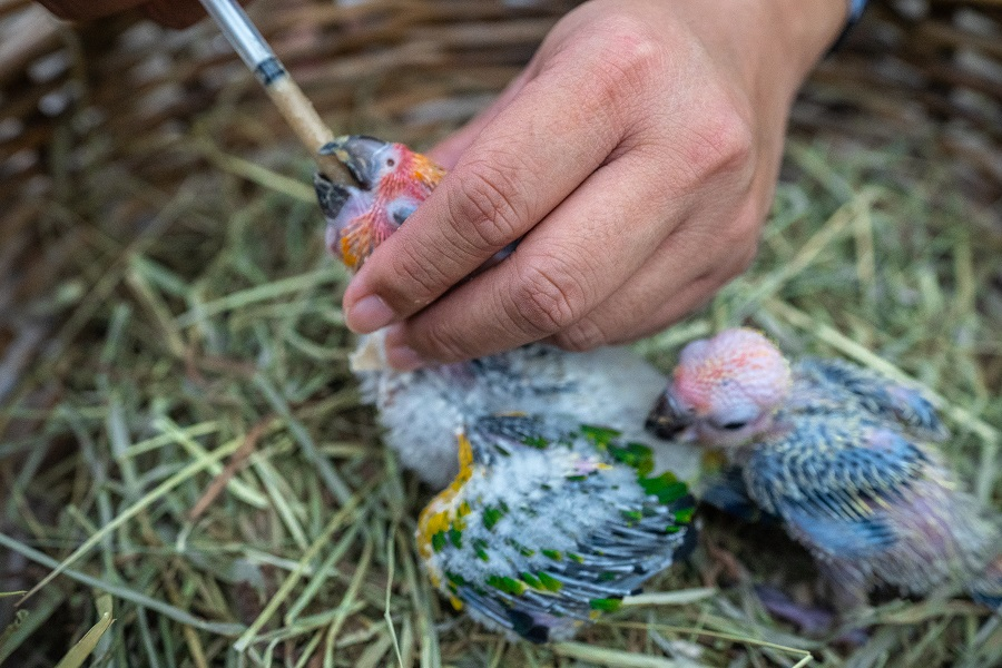 allevamento a mano pappagalli